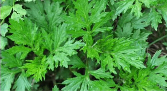 Artemisia Annua: A Potent Antimicrobial