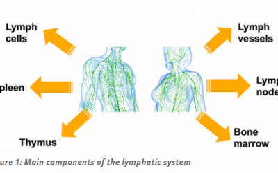 Our Lymphatic System: Much More Than Just Drainage and Waste Transport
