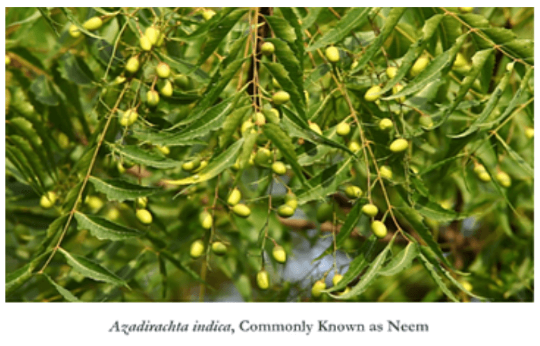 Neem: An Amazing Gift from Nature