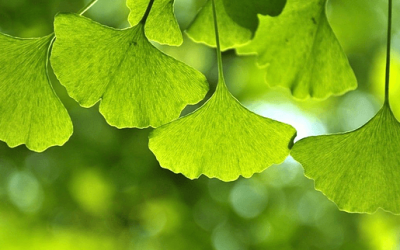 Ginkgo biloba: An Ancient Tree for an Aging Society