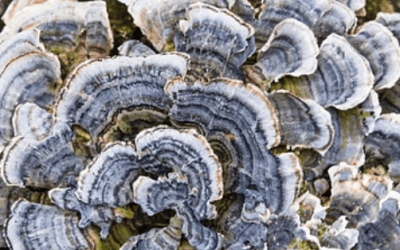 Coriolus versicolor (Trametes versicolor)