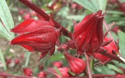 Hibiscus Tea for Hypertension